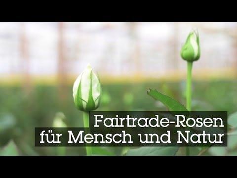 fairtrade rosen f r mensch und natur free video and. Black Bedroom Furniture Sets. Home Design Ideas