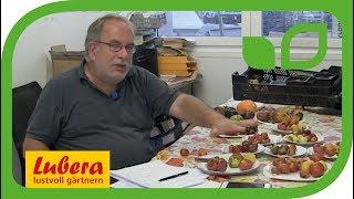 Die Unterschiede zwischen samenfesten Tomaten und F1-Hybriden