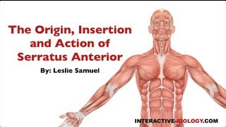 085 Origin, Insertion, And Action Of Serratus Anterior