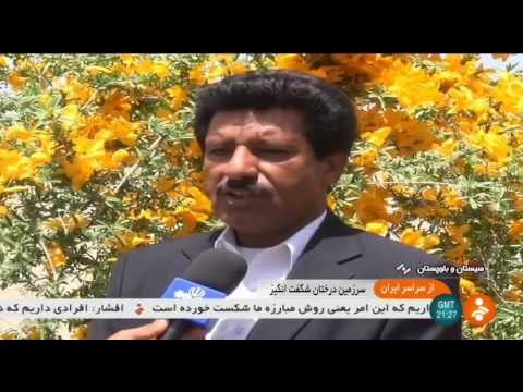 Iran Trees, Climate & Green Environment, Sarbaz county فضاي سبز درختان و ميوه شهرستان سرباز ايران