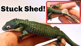 My Abronia Has Stuck Shed! How to Help Reptiles Shed by Tyler Rugge
