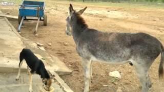 Videos de Risa  perro egoista no deja comer al burro