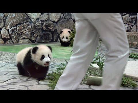 雙胞胎熊貓寶寶發起的萌攻很惹笑...XD