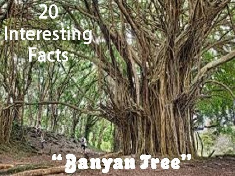 "20 Interesting Facts about ""Banyan Tree"""