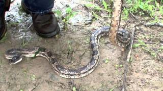 Emory (TX) United States  City new picture : Texas Rat Snake 2011