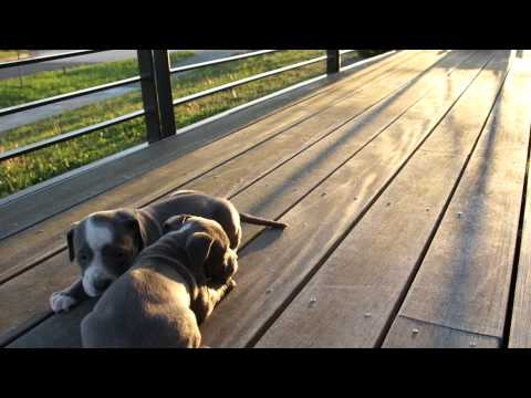 Quick Video of Female Puppy Numbe 4