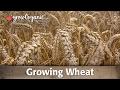 How to Grow Wheat Organically