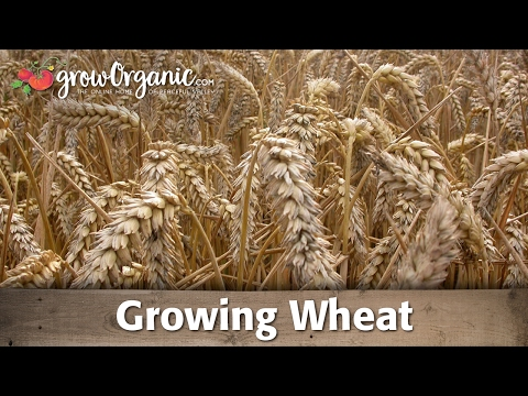 How to Grow Cereal Grains at Home