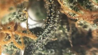 s6 Jack Herer Auto Fem Flowers (Cannabis in Motion) by Grow420Guide