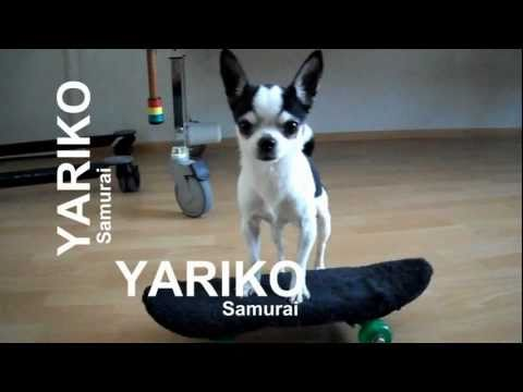 YARIKO Samurai  skating Chihuahua Showreel