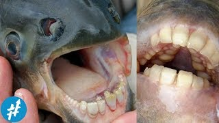 Video Ikan Bergigi Mirip Manusia? 10 Hewan MENGERIKAN Penguasa Sungai AMAZON MP3, 3GP, MP4, WEBM, AVI, FLV Februari 2018