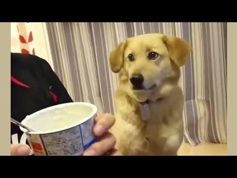 Koira esittää että ei muka kerjäis