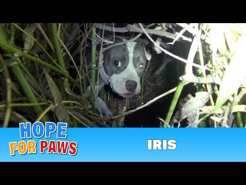 Finding Iris%3A Saving a homeless injured dog %2B an unexpected surprise%21%21%21  Please share.