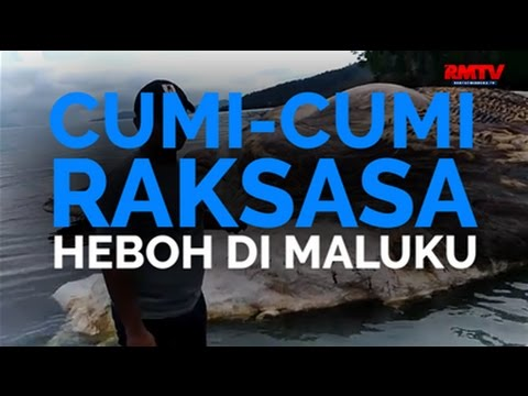 Cumi-Cumi Raksasa Heboh Di Maluku