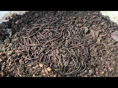 First ever worm bin started!! | Vermicompost redwiggler worms