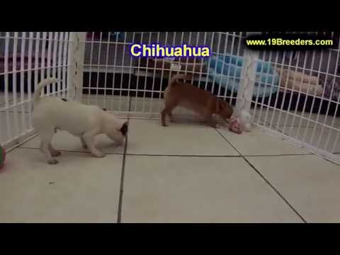 Chihuahua, Puppies, For, Sale, In, Badger, County, Alaska, Ak, Kink Fairview, College