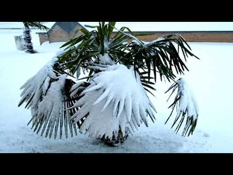 PALM  TREES  IN  THE  SNOW  !