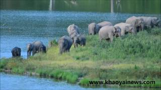 Wild elephants heading for the lake to enjoy a bath a long video
