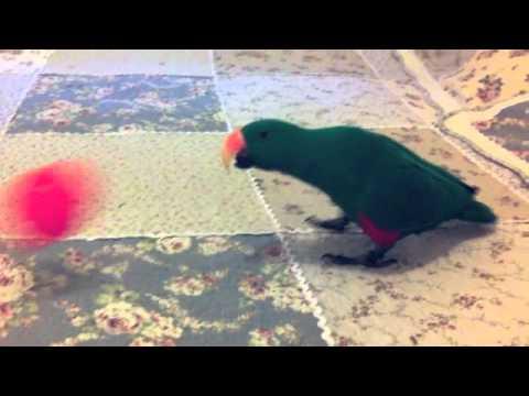 Happy the Eclectus- Parrot tricks