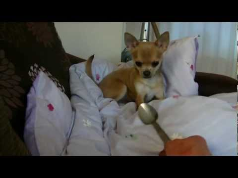 Cute chihuahua puppy playing funny dog funny animal video