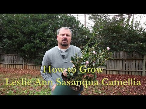 How to grow Leslie Ann Sasanqua Camellia with a detailed description
