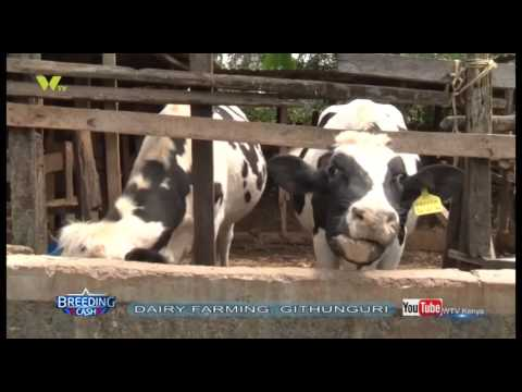 Breeding Cash: Dairy Farming Githunguri