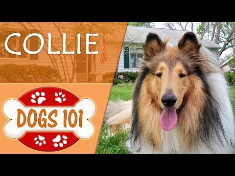 Dogs 101 - COLLIE - Top Dog Facts About the COLLIE