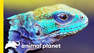 The Spiny Tailed Iguana Is A Powerful Little Creature! | Little Giants by Animal Planet