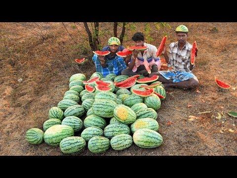 Farm Fresh Watermelon Fruits Plucking and Eating in my Village | village food taste