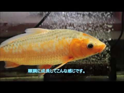 【錦鯉】浅黄の体色が若干変化して来ました