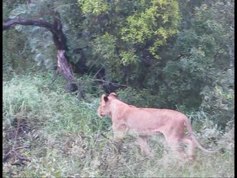 Lion kills a  baboon at Pondoro Game Lodge in Greater Kruger Park