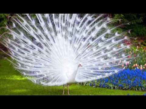 Pavão Branco no Parque do Japão 白孔雀 White Peacock I Japão a terra do sol nascente