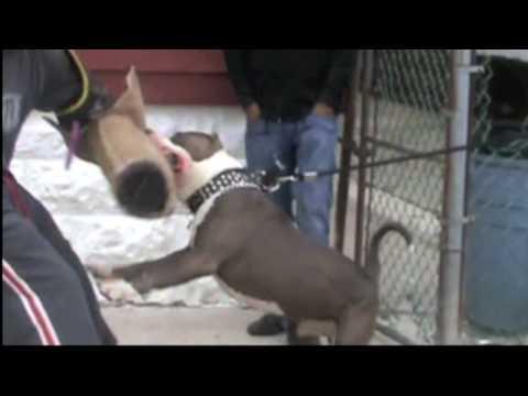 Brooklyn Blue Bullies (Owner Protection) (видео)