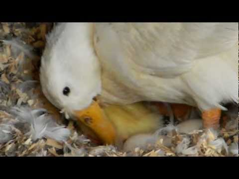 Video Newly Hatched Duckling With Its Mom download in MP3, 3GP, MP4, WEBM, AVI, FLV January 2017