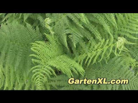 Farn (Wurmfarn) im Garten