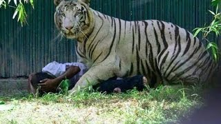 Tiger Saving The Man It Killed In Delhi Zoo?  A New Debate full download video download mp3 download music download