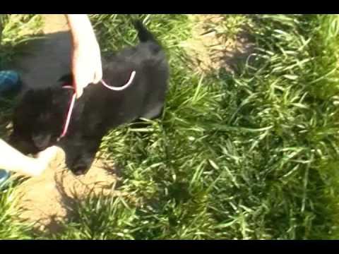 Wolverstones Miss Strawberry Swirl Black Female Puppy
