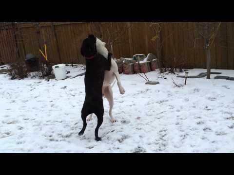 dogo argentino vs. cane corso
