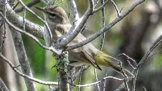 Brown Palm Warbler