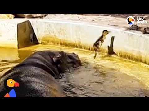 Hippos Help Duckling Reunite With Mom | The Dodo