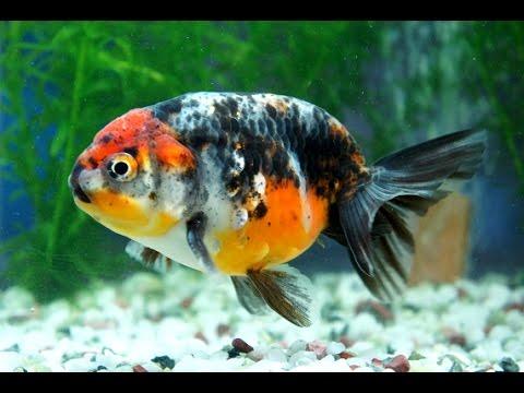 【金魚】江戸錦