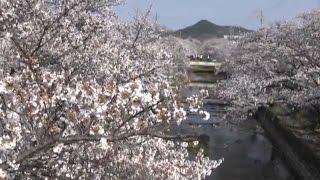 羽黒三川桜並木サクラめぐり