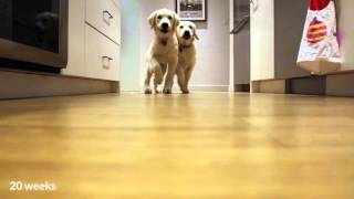 Cute Puppies running for dinner, timelapse style
