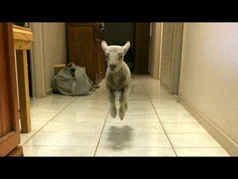 Cute Bouncing Lamb Becomes Huge Internet Star