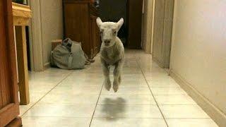 Video Cute Bouncing Lamb Becomes Huge Internet Star MP3, 3GP, MP4, WEBM, AVI, FLV September 2017