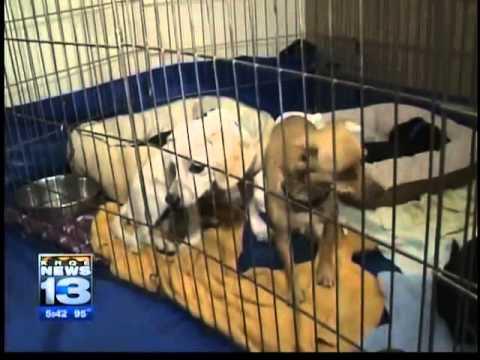 Chihuahua hoarder drives to animal shelter