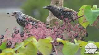 Nonton Common  Starling Flock Feeding On Devil S Walking Stick Berries Film Subtitle Indonesia Streaming Movie Download