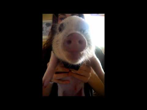 Pet Miniature pig making funny cartoon sounds while eating potato chips