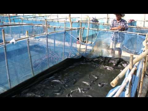 เลี้ยงปลาดุก ด้วยกระชังบนดิน (3)