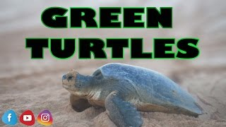 Episode 3 of Sailing around the world as part of our travel vlog series. Join us as we experience and learn about Green Turtles on the island of Ascension.